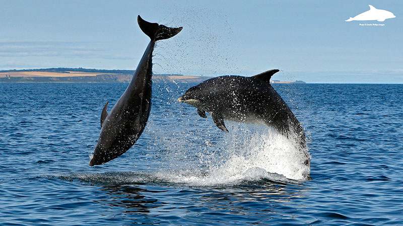 Breaching adult bottlenose dolphins - Charlie Phillips photographer
