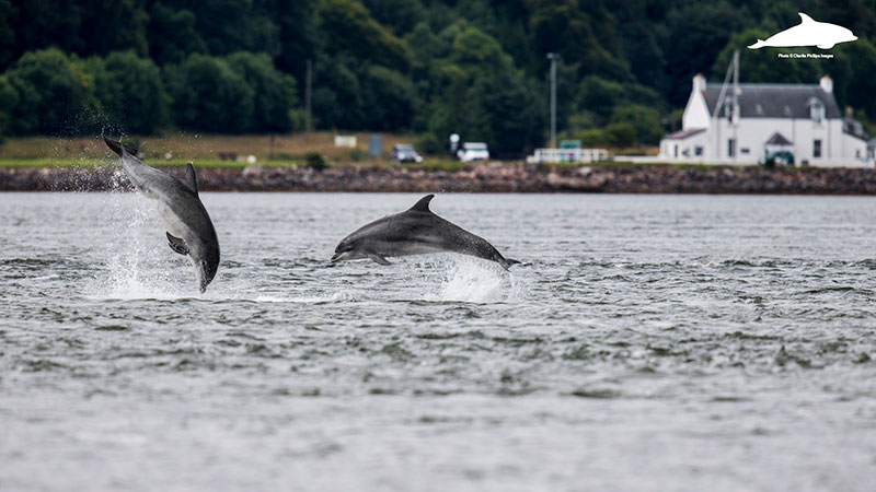 Bottlenose dolphins in the Beauly Firth, Inverness Shire - Charlie Phillips photographer