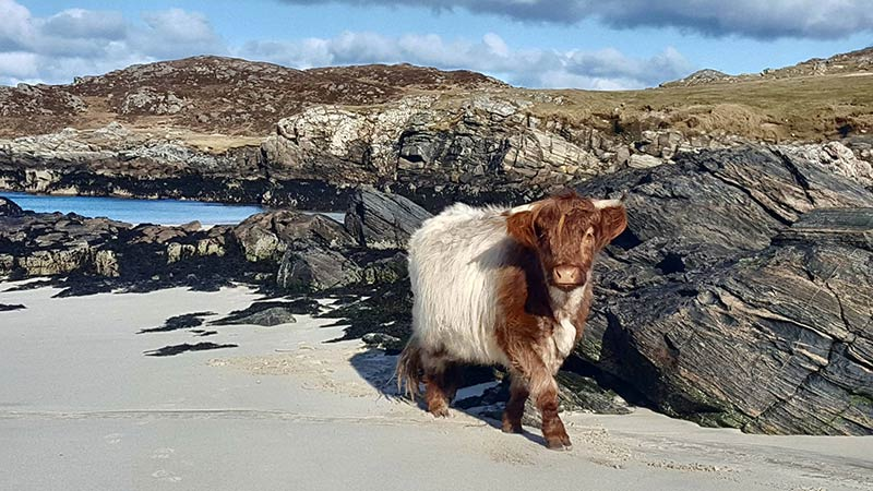 Things to do on Bernera - Highland cows on Bosta beach