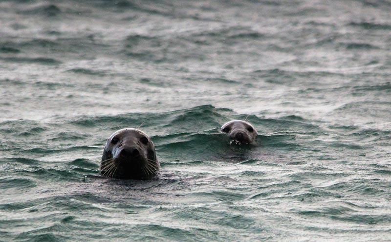 Seals at Bosta beach, Bernera, Lewis