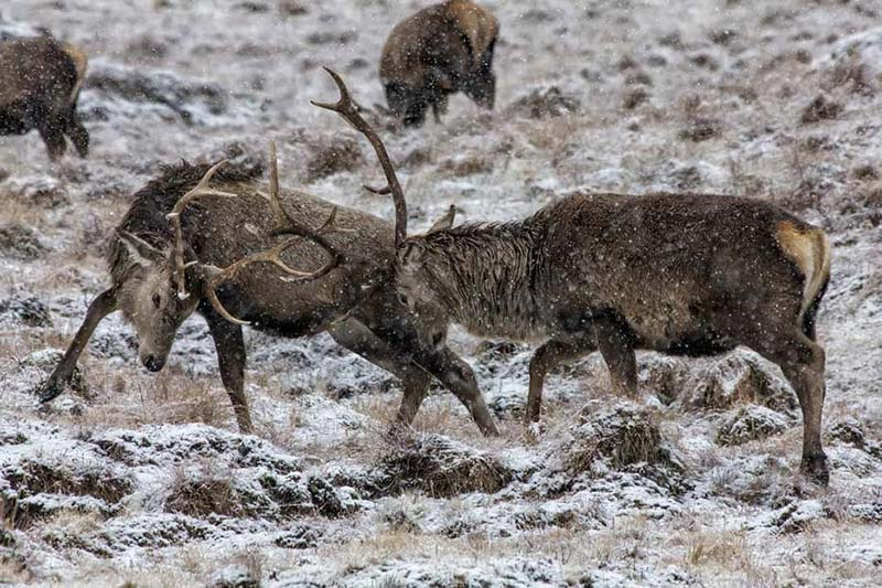 Deer rutting in winter by Derek Beattie
