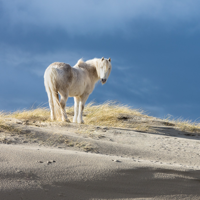 Freedom of Luskentyre - A white horse on the sand dunes of Luskentyre Beach on the Isle of Harris, highlighted by typically pure Hebridean light and standing out against the equally typical brooding sky.
