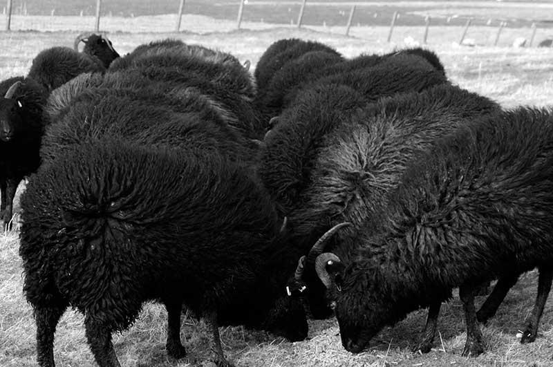 Hebridean Sheep North Uist