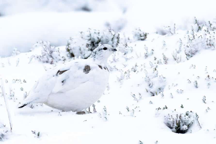 winter ptarmigan on Cairn Gorm mountain