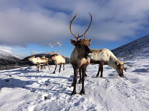 Cairngorm Reindeer standing snow what to do in aviemore