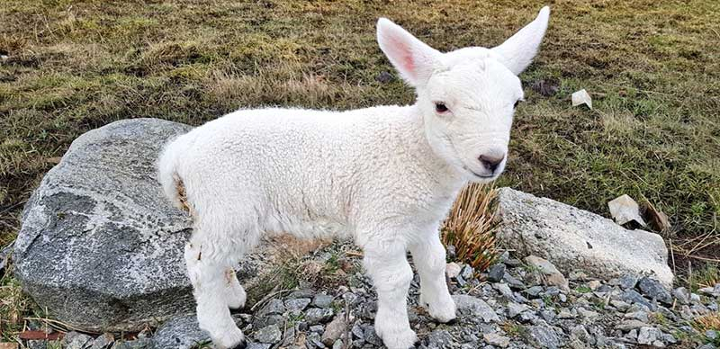 Spring lambing on the Isle of Harris, Outer Hebrides